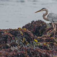 A Great Blue Heron (Ardea herodias) fishes for minnows in Pacific Ocean tide pools at Fitzgerald Marine Reserve near Moss Beach, California.