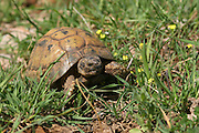 Close up of a Spur-thighed Tortoise or Greek Tortoise (Testudo graeca) in a field. Israel April 2009