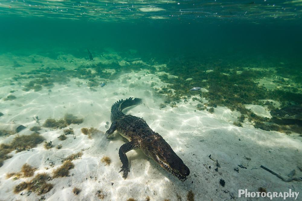 American crocodile, Crocodylus acutus, hunting as it moves along sandy ocean floor
