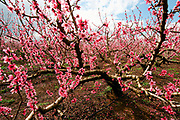 Israel Upper Galilee pink peach blossoms on trees in a plantation