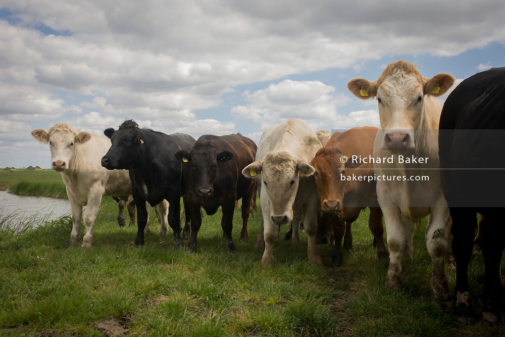 Different breeds of young curious bulls in a wetlands meadow near Halstow on the Kent Thames estuary marshes, potentially threatened by the future London airport.