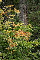 Fall foliage North Cascades