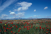 Flowering Meadow with white  flowers and red poppies, blue sky with clouds