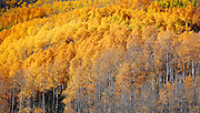 SHOT 10/2/12 2:37:30 PM - Aspen trees changing colors near the Brush Creek and Strand Hill area just outside of Crested Butte, Co. Populus tremuloides, the Quaking Aspen or Trembling Aspen, is a deciduous tree native to cooler areas of North America and is generally found at 5,000-12,000 feet. The name references the quaking or trembling of the leaves that occurs in even a slight breeze due to the flattened petioles. It propagates itself by both seed and root sprouts, and extensive clonal colonies are common. Each colony is its own clone, and all trees in the clone have identical characteristics and share a root structure. (Photo by Marc Piscotty / © 2012)