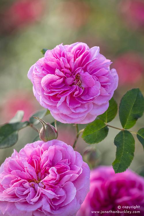 Rosa 'Gertrude Jekyll' syn. Ausbord