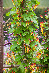 Ipomoea lobata syn. Mina lobata (Spanish Flag) growing on an arch in the cutting garden