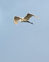 Great Egret (Ardea alba). Black Point Wildlife Drive. Merritt Island National Wildlife Refuge. Image taken with a Nikon D3s camera and 200-400 mm f/4 VR lens.