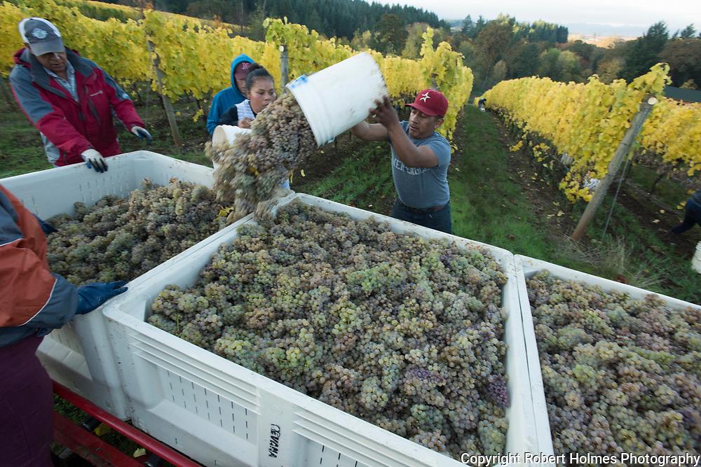 Alexana riesling harvest, Dundee Hills AVA, Willamette Valley, Oregon