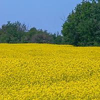 Mustard fields glow on the Great Plains near Winnipeg, Manitoba.