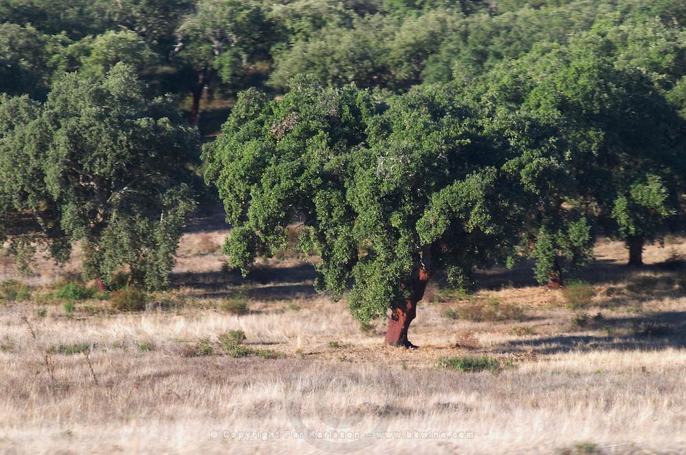 oak tree alentejo portugal