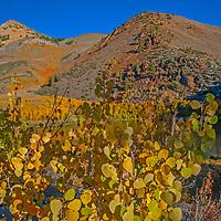 Fall-colored aspens grow beside North Lake in the Eastern Sierra Nevada above Bishop, California.
