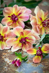 Dahlia 'Happy Butterfly'