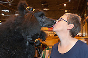 Owner gets a quick kiss from her poodle before the show begins. Crufts 2014, NEC Birmingham