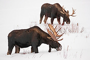 Two moose (Alces alces) feed on snow-covered shrubs near the Lamar Valley in Yellowstone National Park, Wyoming. Moose have a number of features, including thick skin, that make them specially adapted to survive tough winters.