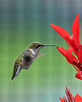 Ruby-throated Hummingbird. Image taken with a Nikon D5 camera and 200-500 mm f/5.6 VR lens.