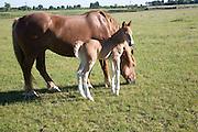 The Suffolk Punch Trust breeding colony, Hollesley, Suffolk, England