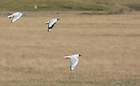 Andean gulls, Larus serranus. Antisana Ecological Reserve, Ecuador