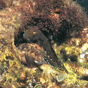 Molly Miller inhabit shallow rocky reefs, often in areas with some surge, take refuge in holes in Tropical West Atlantic; picture taken Florida Panhandle.