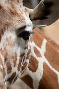 Reticulated Giraffe (Giraffa camelopardalis reticulata) closeup