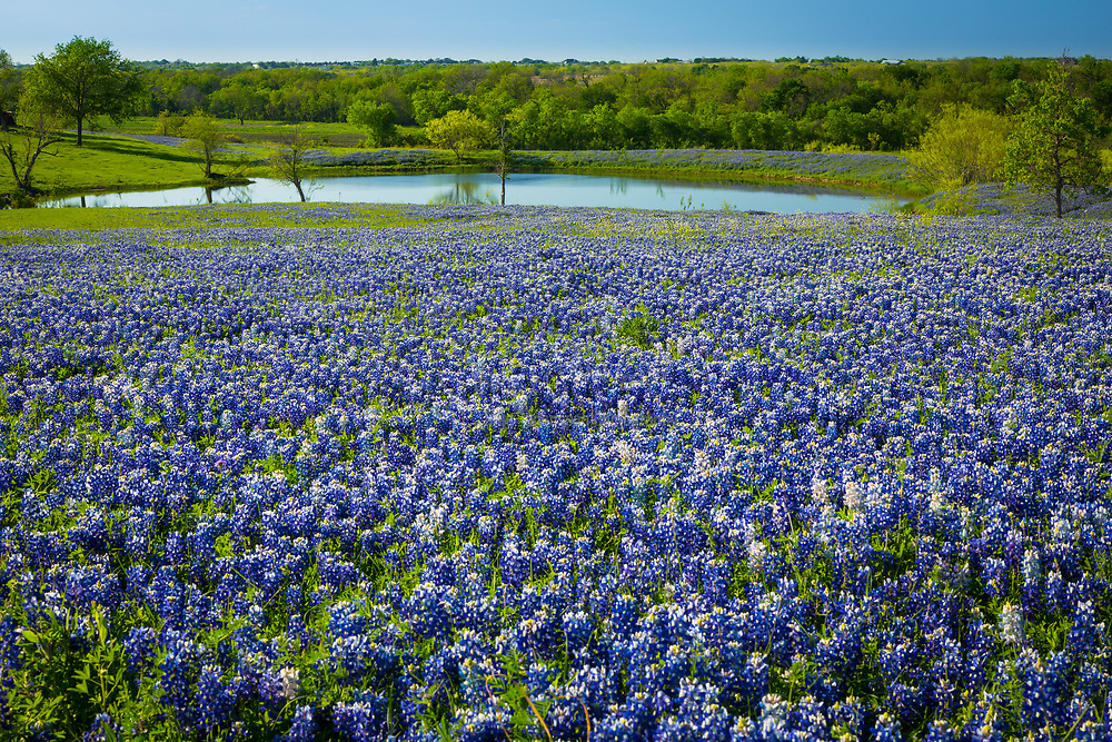 Bluebonnets in Ennis, Texas. Lupinus texensis, the Texas bluebonnet, is a species of lupine endemic to Texas. With other related species of lupines also called bluebonnets, it is the state flower of Texas. It is a biennial plant which begins its life as a small, gravel-like seed. The seed has a hard seed coat that must be penetrated by wind, rain, and weather over the course of a few months (but sometimes several years). In the fall, the bluebonnets emerge as small seedings with two cotyledons, and later a rosette of leaves that are palmately compound with 5-7 leaflets 3-10 cm long, green with a faint white edge and hair. Growth continues over the mild winter months and then in the spring will take off and rapidly grow larger, before sending up a 20-50 cm tall plume of blue flowers (with bits of white and occasionally a tinge of pinkish-red). The scent of these blossoms has been diversely described; many people say they give off no scent at all, while a few have described the scent as 'sickly sweet'. It has been found in the wild with isolated mutations in other colors, most notably all-white flowers, pink, and maroon. These mutations have since been selectively bred to produce different color strains that are available commercially.