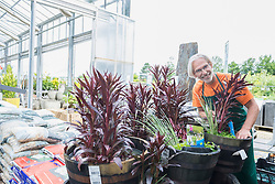 Male gardener caring for aquatic plants in greenhouse, Augsburg, Bavaria, Germany