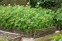 Potato bed edged with low hazel hurdle fence