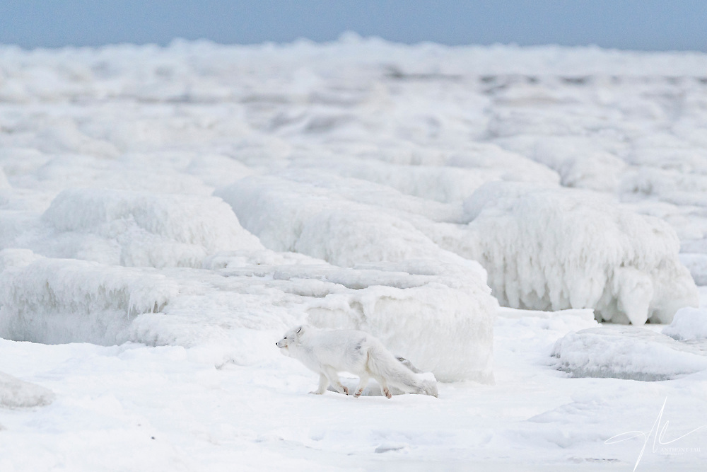Arctic Fox in the frozen tundra across the Hudson Bay of Canada