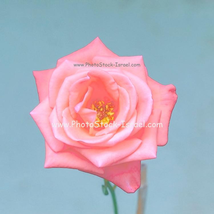Digitally enhanced image of a perfect Salmon rose head