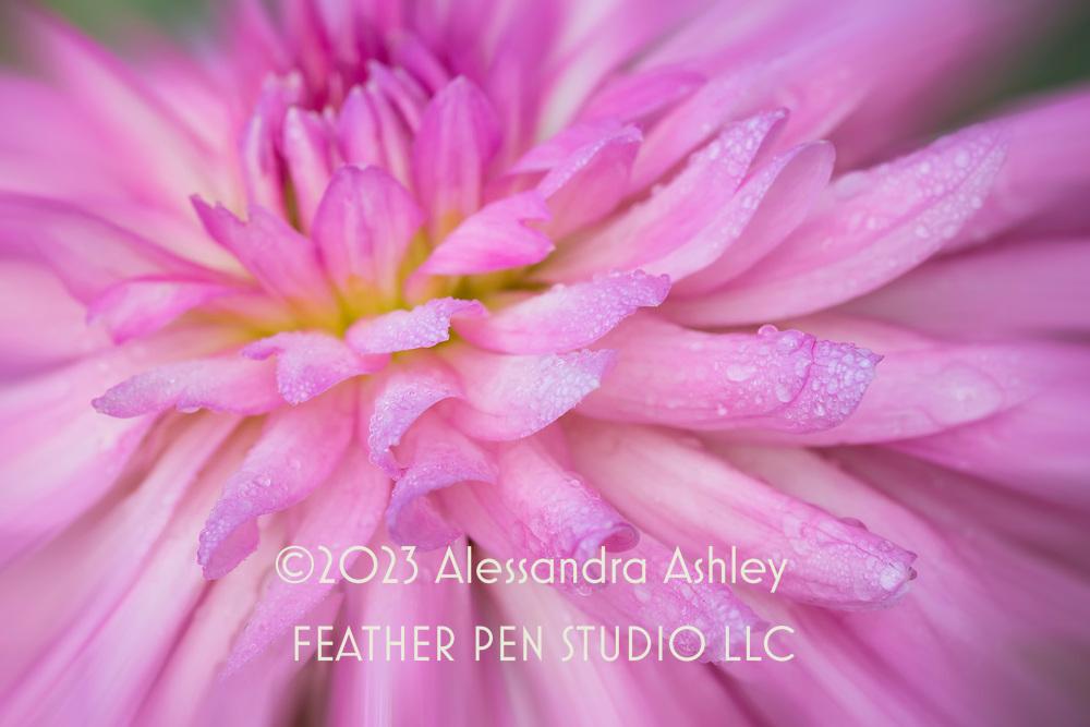 Macro view, pink dahlia with fresh coating of raindrops.