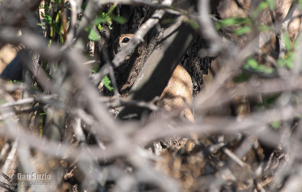 Rock Squirrel, Otospermophilus variegatus, concealed behind a shrub in Saguaro National Park, Arizona