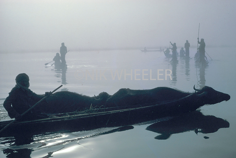 Iraqi marsh Arab woman in canoe guides water buffalo to pasture in the marshes of Southern Iraq