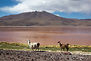 Llamas two 2 next to the laguna roja red lagoon with a snow capped volcano in the background. Salar Uyuni salt flats and Eduardo Avaroa national park, south western Bolivia