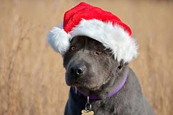 Dog wearing a Santa Claus hat