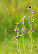 Bee Orchids Ophyrs apifera and Quaking Grass growing on a meadow in Middleton Dale, Peak District