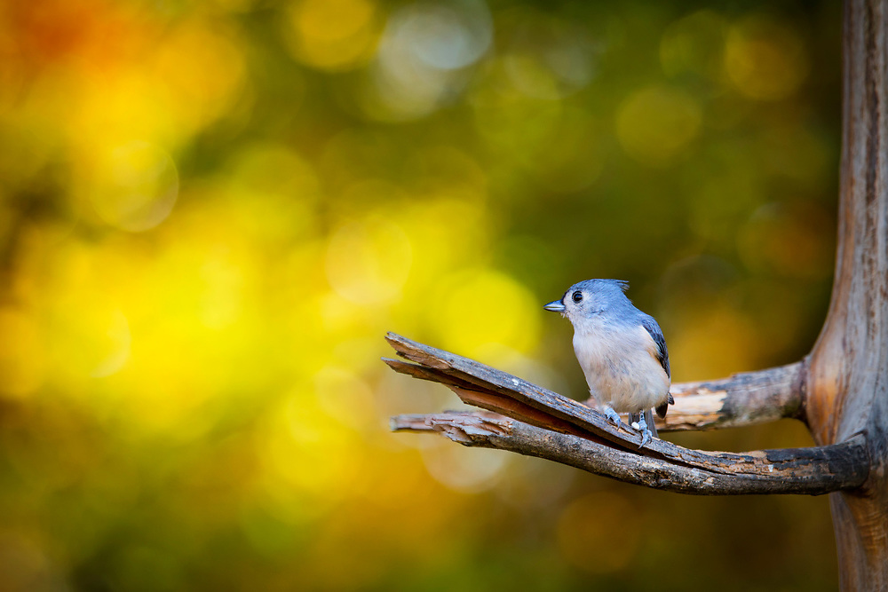 A tiny tufted titmouse perched in the tree backed by bright autumn light