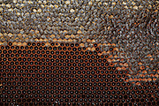 Worker honeybees, (Apis mellifera) fill the hexagonal chambers of a frame with honey made from nectar. The domesticated bee is given a frame with hexagonal foundations, several such frames forming a hive. The chambers are built up from wax secreted by the bee, filled with honey & capped again with wax. (partially capped frame shown) The keeper removes the frames in late summer to prevent the bees feeding on the honey over winter. He replaces it with syrup. Frames similar to these are used as breeding chambers where the queen lays her eggs.