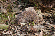 Southern white-breasted hedgehog (Erinaceus concolor) Photographed in the Carmel Mountain, israel