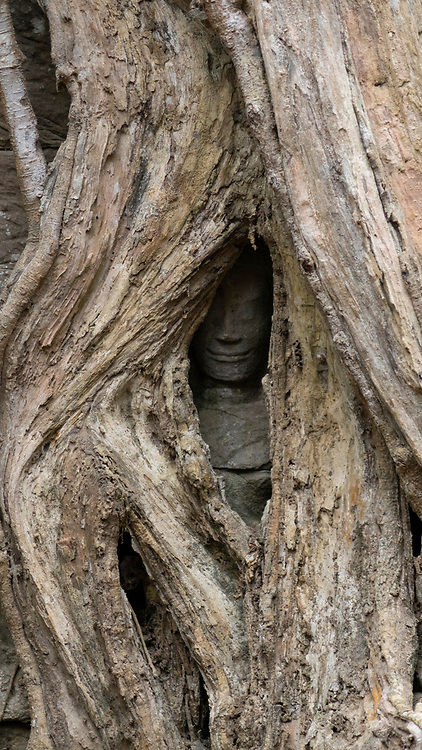 Carved head hidden in a tree at the Ta Prohm temple ruins in Angkor Wat, Siem Reap, Cambodia