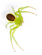Diaea dorsata - female. Superbly adapted arboreal crab spider that hunts in the foliage of trees and is widespread in the southern half of England and Wales.