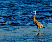 Great Blue Heron at Fort De Soto park. Image taken with a Fuji X-H1 camera and 200 mm f/2 OIS lens + 1.4x teleconverter (ISO 200, 280 mm, f/4, 1/600 sec).