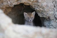 Red Fox (Vulpes vulpes) Rostovsky Nature Reserve, Rostov Region, Russia