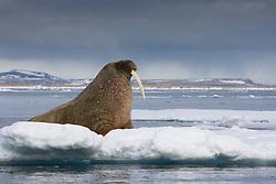 Walrus (Odobenus rosmarus) in Spitsbergen, Svalbard