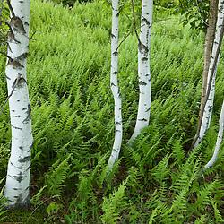 Paper birch and ferns in Sabins Pasture in Montpelier, Vermont.