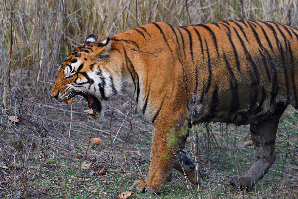 Bengal tiger, Panthera tigris tigris, Male, Kanha National Park and Tiger Reserve, Madhya Pradesh, India