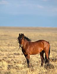 Wild Wyoming Mustang Bay Stallion roaming free on the Wyoming Desert