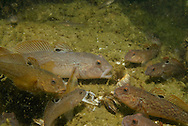 Round Goby (feeding on Zebra Mussels)<br /> <br /> Engbretson Underwater Photography
