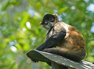 Spider Monkey, Ateles geoffroyi