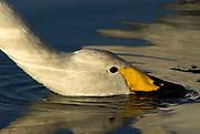 Whooper swan, Cygnus cygnus, portrait, drinking water, lake Kussharo-ko, Hokkaido Island, Japan, japanese, Asian, wilderness, wild, untamed, ornithology, snow, graceful, majestic, aquatic.