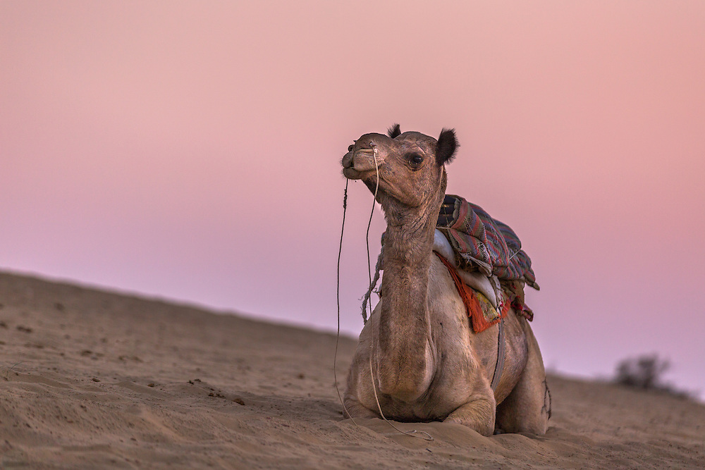 A camel rests against the dramatic pink sky of twilight in the Thar Desert in western Rajasthan.