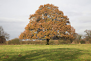 Orange brown autumn leaves on common lime or linden tree in field, Suffolk, England T